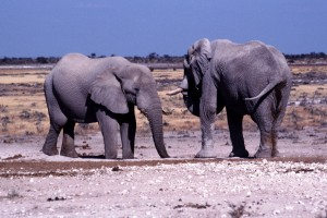 Ellies at Etosha - a - ps