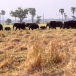 Elephants Liwonde 89