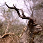 Kudu in Nyika - a - ps