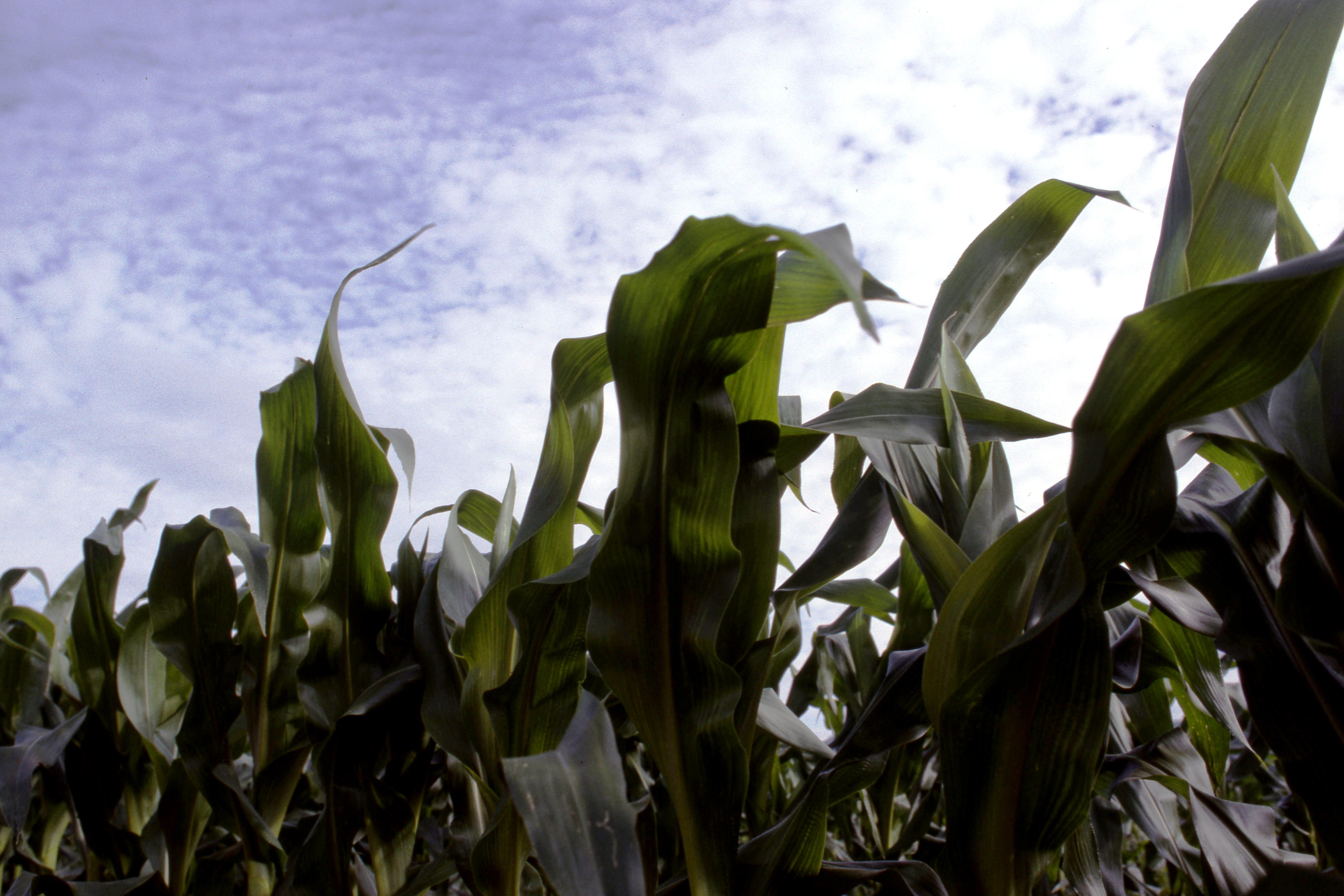 More Maize - a