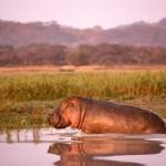 Vwaza Marsh hippo